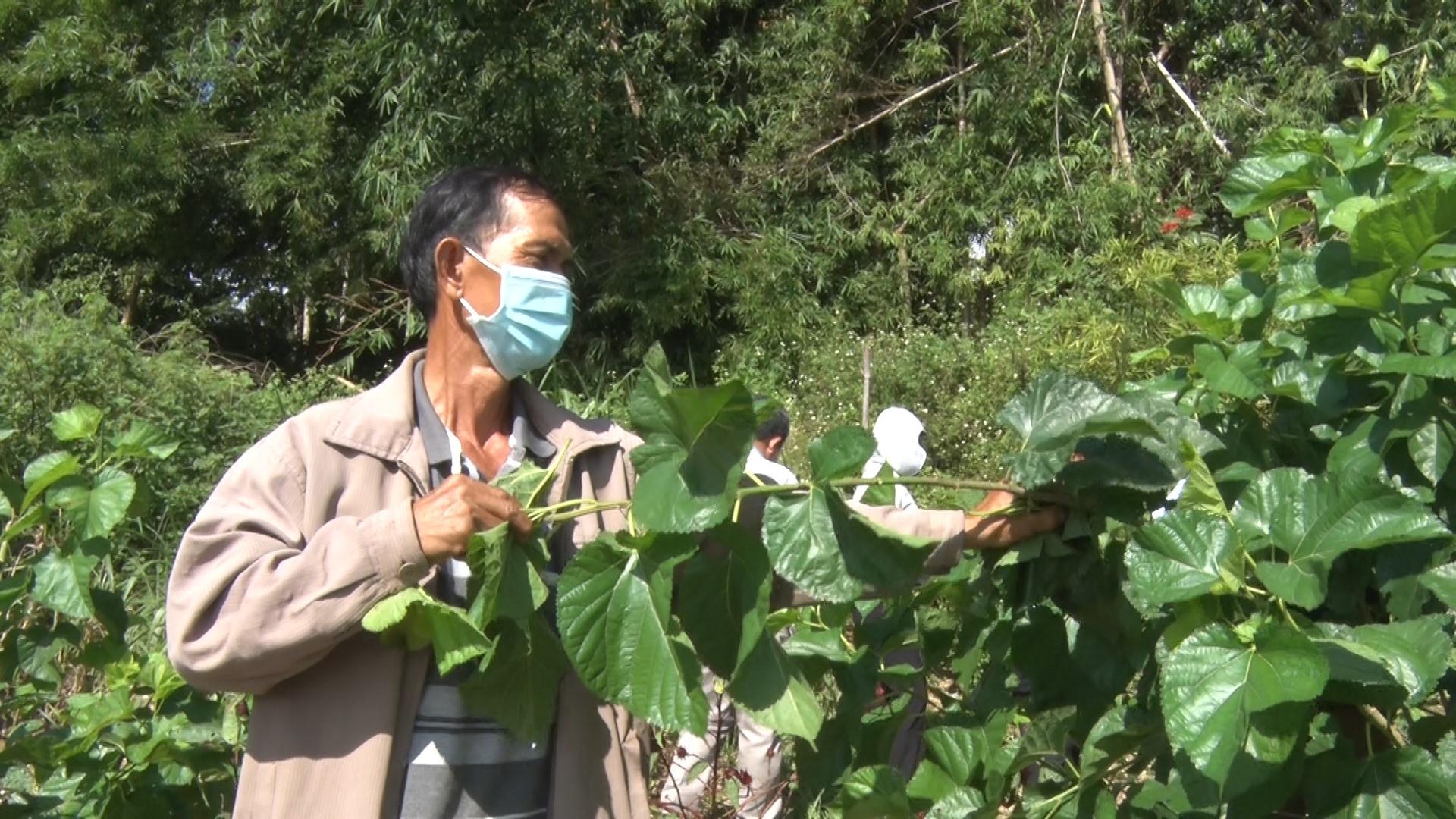 Giống dâu mới S7-CB được trồng thử nghiệm tại thôn Đại Bình (xã Quế Trung, Nông Sơn) đạt năng suất hơn 25 tấn/ha. Ảnh: LÊ THÔNG