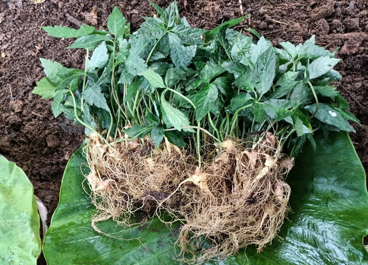 Ngoc Linh ginseng seedlings