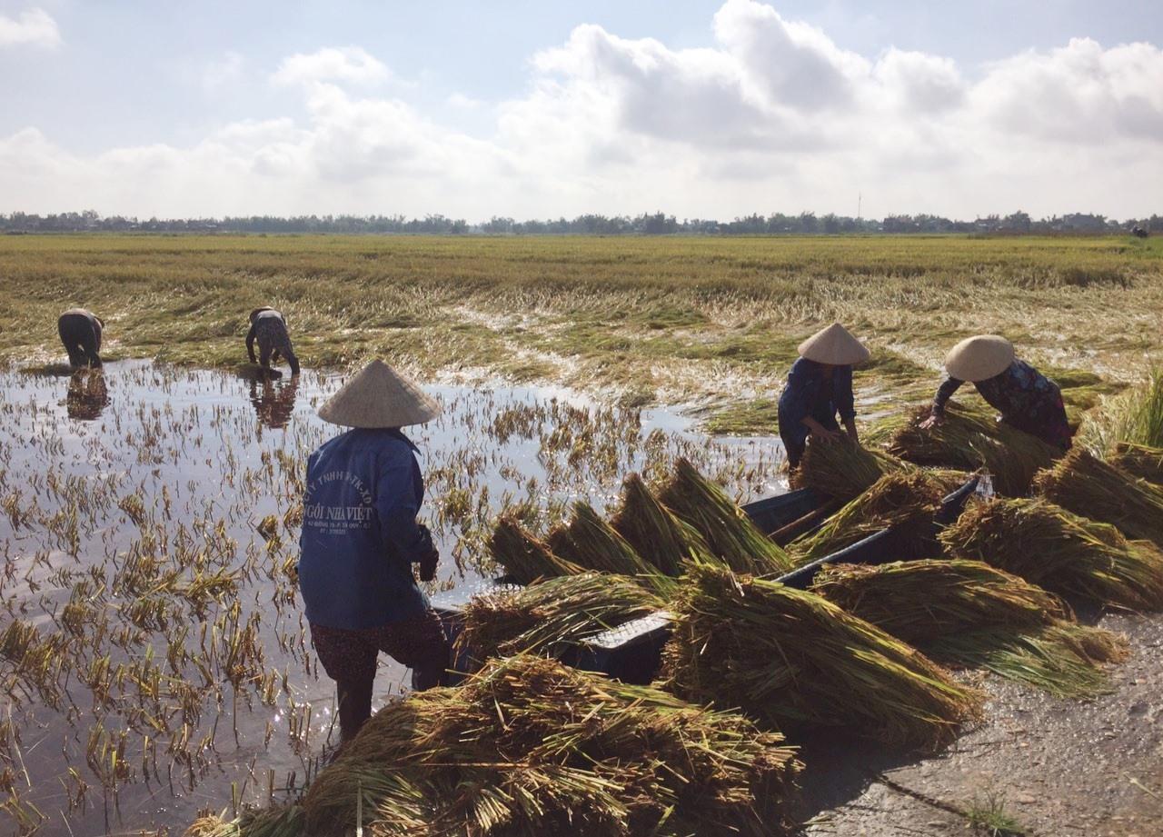 Nông dân nhiều địa phương khẩn trương thu hoạch những ruộng lúa còn lại để hạn chế thiệt hại do mưa gió và ngập úng gây ra.     Ảnh: V.S