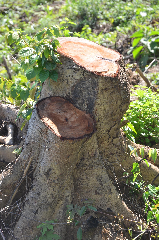 Một gốc cây còn ứa nhựa chưa kịp đốt. Ảnh: T.H