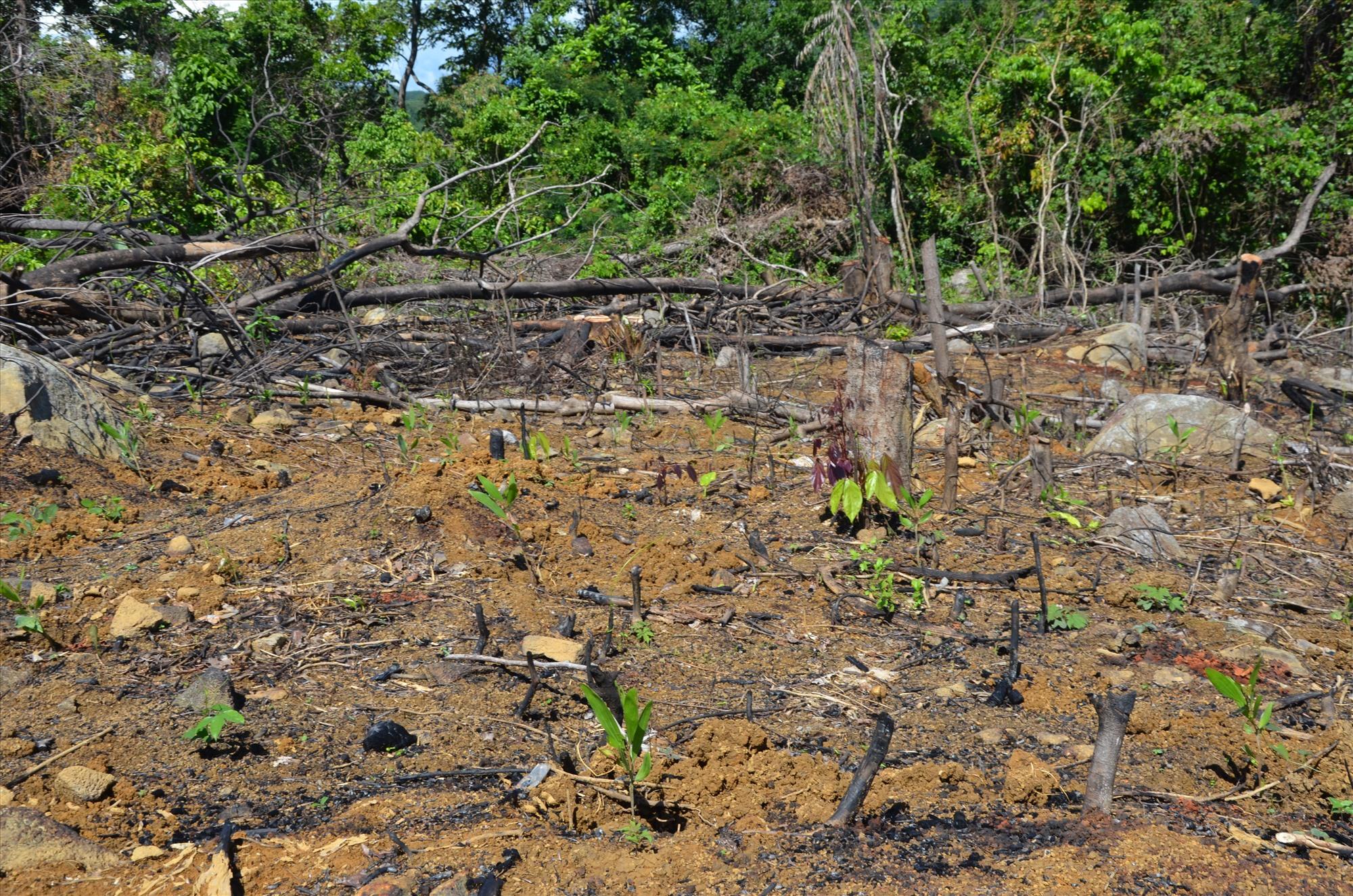 Đốt rừng xong,vào mùa mưa, các đối tượng triển khai trồng rừng keo non. Ảnh: T.H.