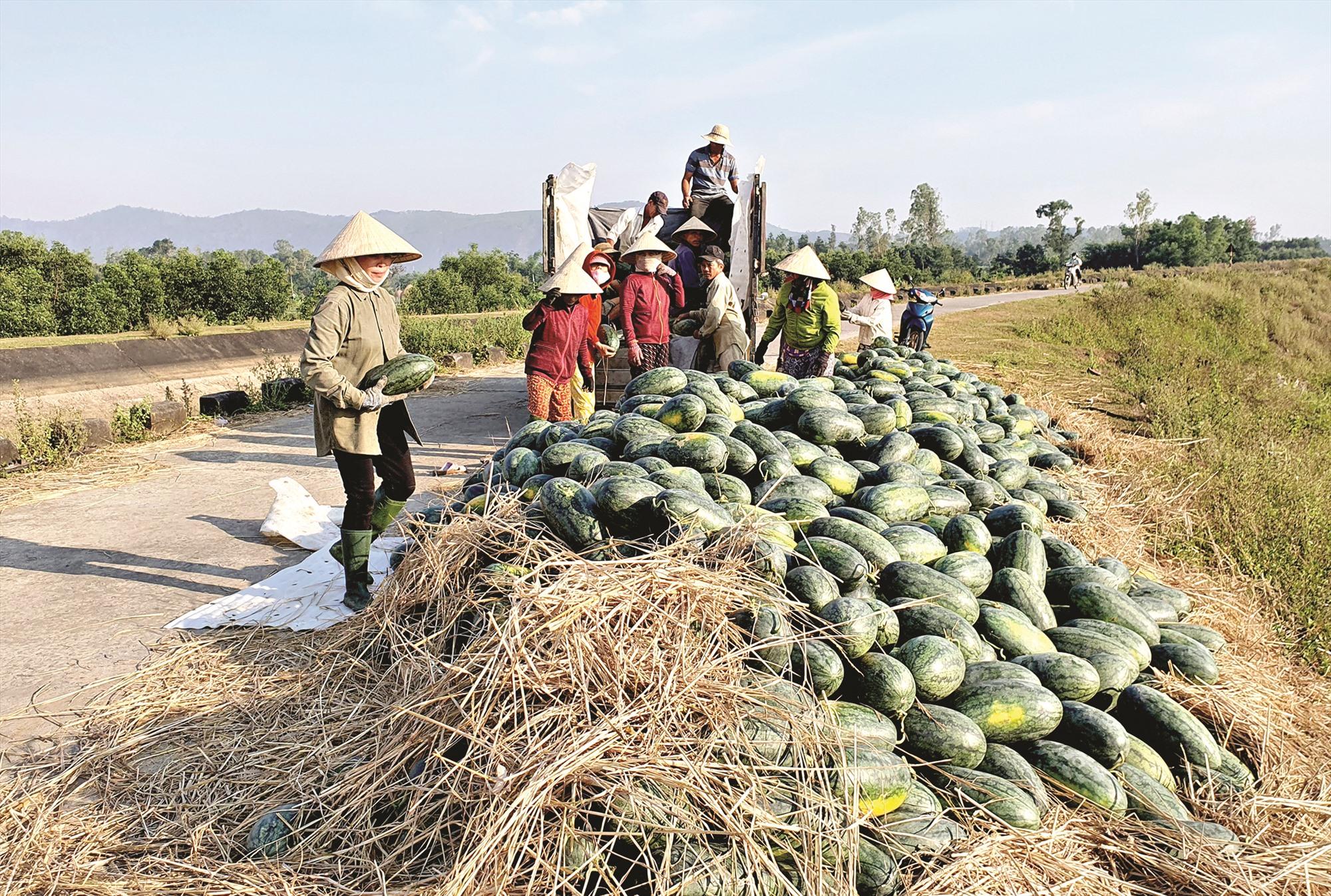 Những năm qua, việc sản xuất dưa hấu ở Quảng Nam thiếu bền vững do thị trường tiêu thụ không ổn định. Ảnh: S.A