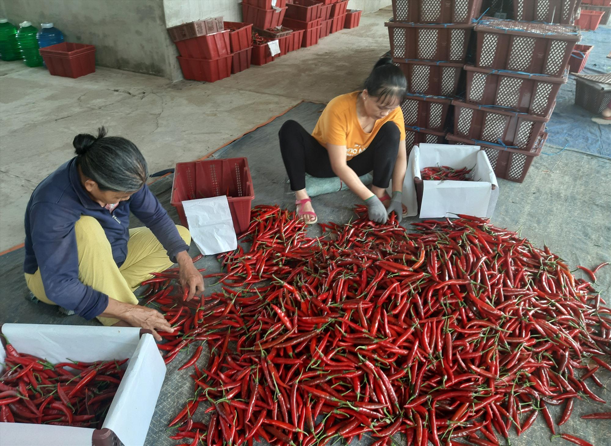 Do ảnh hưởng dịch Covid-19, việc xuất khẩu ớt trong thời gian qua gần như bế tắc. Ảnh: S.A
