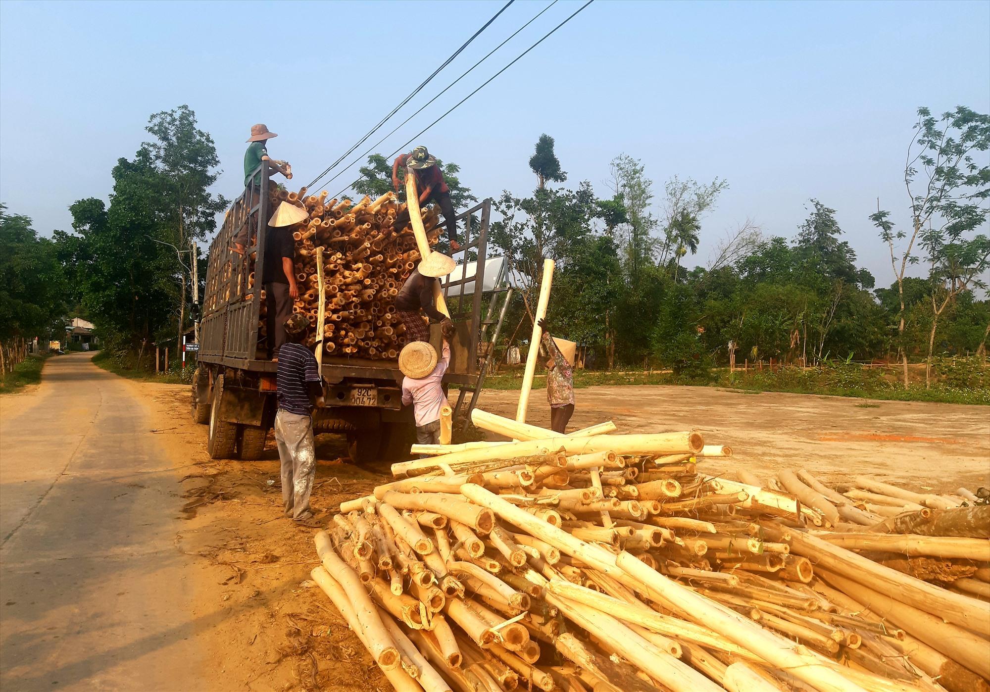 Do thân gỗ nhỏ, năng suất không cao nên giá trị kinh tế thu về từ mô hình trồng keo nguyên liệu đạt thấp. Ảnh: S.A