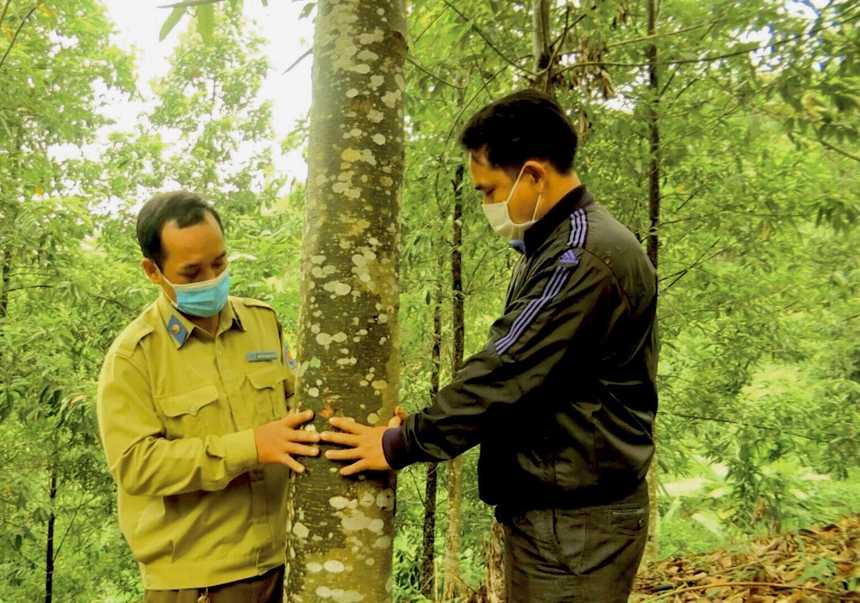Sau thời gian trồng và chăm sóc, rừng giổi của ông Hên phát triển rất tốt, nhiều cây đã cho hạt. Ảnh: T.T