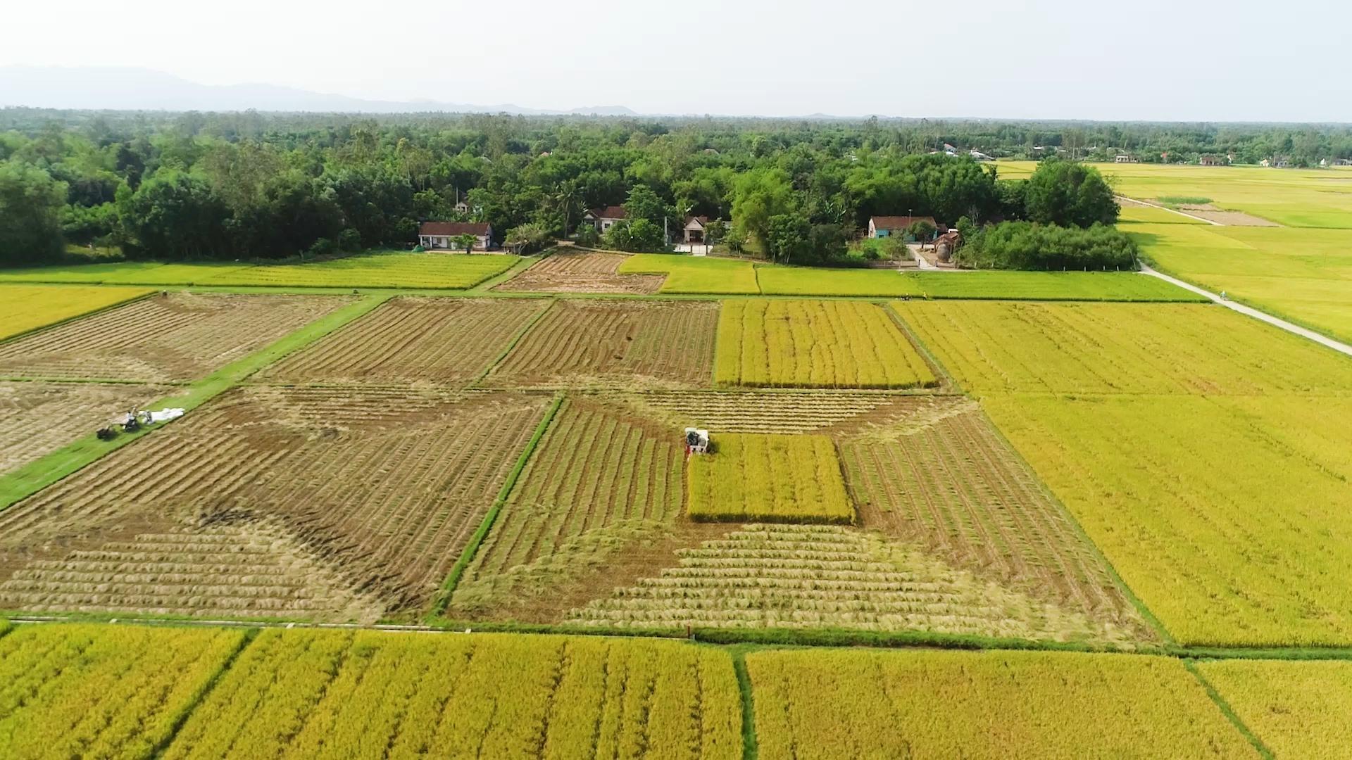Tích tụ tập trung ruộng đất giúp các HTX thuận lợi liên kết với công ty để sản xuất lúa giống, đem lại hiệu quả kinh tế cao hơn. Ảnh: M.T