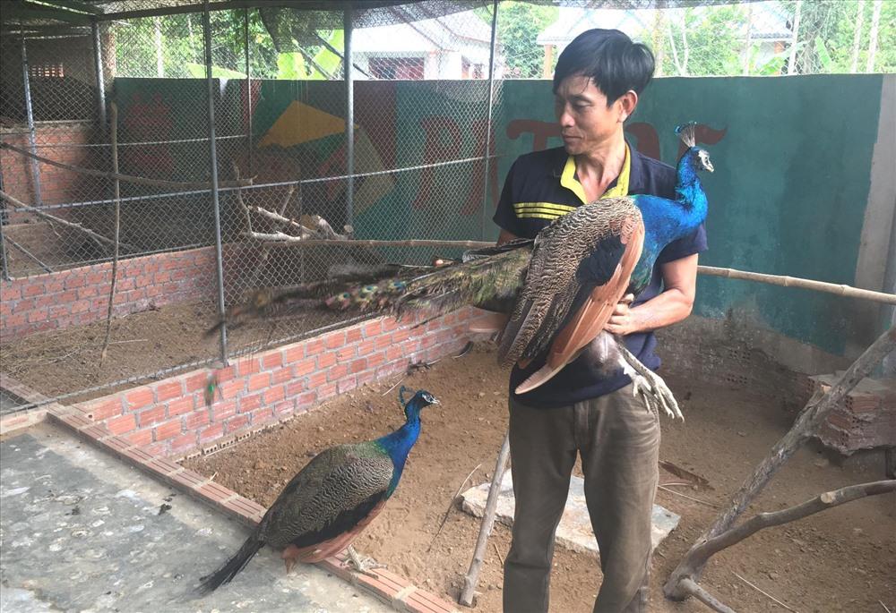 Một cặp chim công giống sau 2 năm nuôi sẽ có giá hơn 20 triệu đồng. Ảnh: PHAN VINH