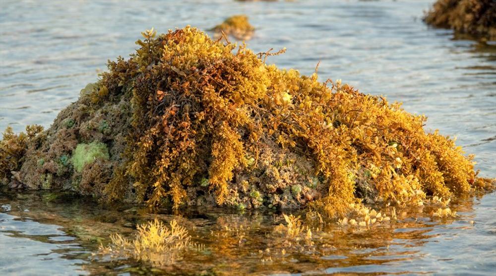 Các loại rong và rau biển bám quanh một hòn đá nhỏ. Khi thủy triều lên, tất cả sẽ lại ngập trong nước và sẽ là nơi lý tưởng để các loại tôm, cá đến sinh sống. Ảnh: Xuân Thọ