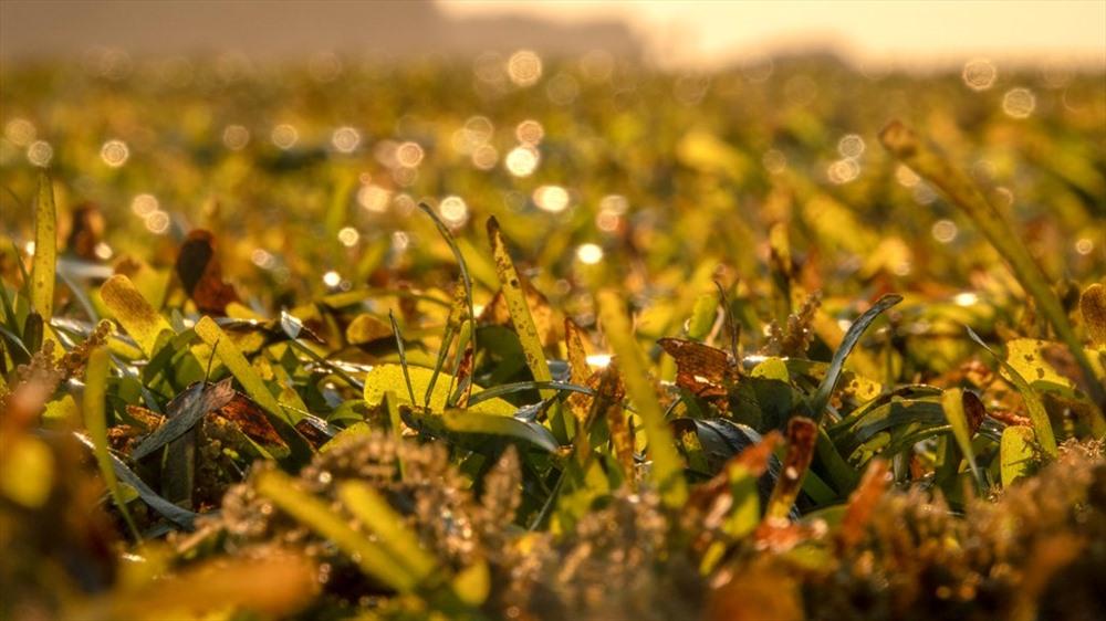 Loài cỏ biển này dân Lý Sơn quen gọi là lá hẹ, có vai trò quan trọng trong hệ sinh thái biển. Ảnh: Xuân Thọ