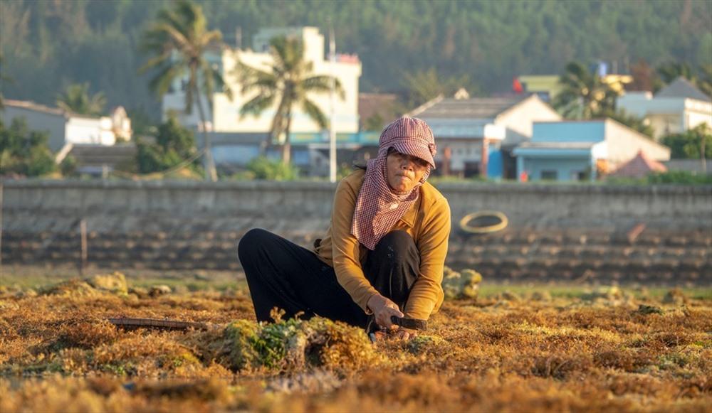 """Còn người phụ nữ này đang """"cuốc"""" rau đông, loại rau dùng để nấu xu xoa đang được du khách ưa chuộng khi đến Lý Sơn. Rau đông tươi hiện có giá 5.000 đồng/kg, phơi khô 22.000 đồng/kg, còn nếu """"giặt"""" sạch sẽ sẽ có giá từ 150 - 170.000 đồng/kg. Ảnh: Xuân Thọ"""