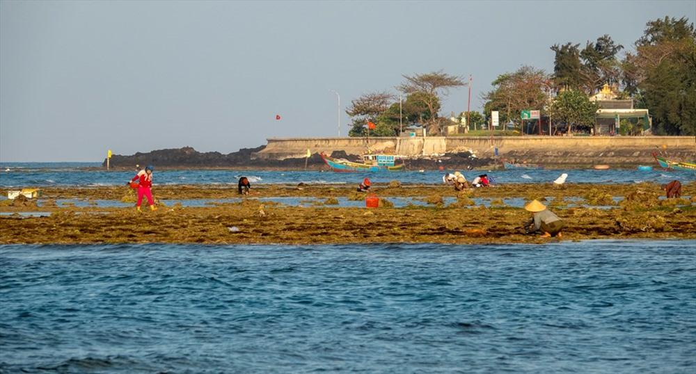 Với người dân Lý Sơn, gành biển đang mang lại cho họ nguồn thu nhập tương đối ổn bên cạnh các nghề khác trên đảo. Ảnh: Xuân Thọ