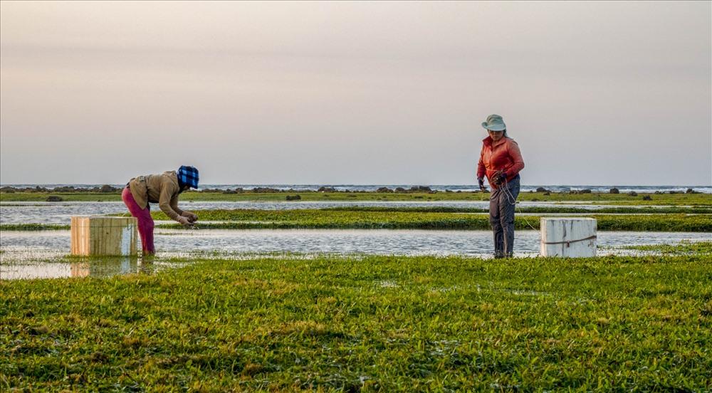 Khi nước cạn, những người dân sống ven bờ biển sẽ đi gành. Trên gành, họ sẽ nhặt các loại rau như rau cau, cum cúm; bắt các loại ốc, cua... Ảnh: Xuân Thọ