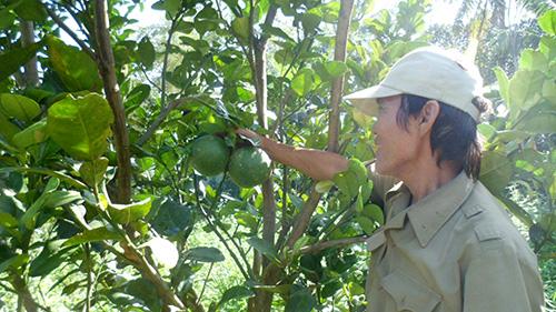 Vườn bưởi của ông Mai Phước Chi.