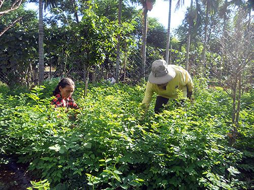 Vợ chồng ông Ba chăm sóc vườn rau ngót đang lên xanh. Ảnh: N.P