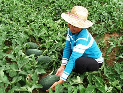 Nhiều người dân học hỏi để nhân rộng mô hình trồng dưa hấu theo hướng an toàn.                                                                                  Ảnh: N.DƯƠNG
