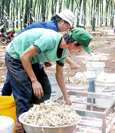 Lo lắng của người trồng cao su tiểu điền là tiêu thụ sản phẩm.