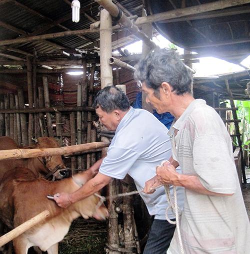 Ngành thú y chỉ mới tiêm được 200 liều vắc xin cho đàn gia súc ở xã Duy Trinh.
