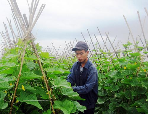Trồng dưa chuyên canh, mỗi vụ nông dân Bình Nguyên thu về 120 - 140 triệu đồng/ha. Ảnh: VĂN SỰ
