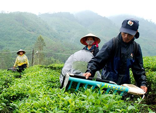 Công nhân Công ty TNHH một thành viên Nông lâm nghiệp Quyết Thắng thu hoạch chè tại xã Ba, huyện Đông Giang.Ảnh: ĐOÀN ĐẠO