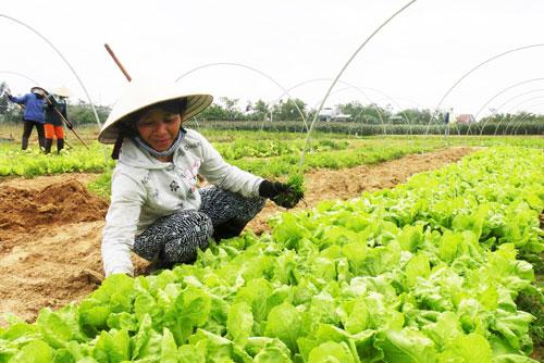 Khu vực chuyên canh rau quả an toàn của Công ty CP Sản xuất & thương mại Việt Thiên Ngân tại thôn Thanh Chiêm 2, xã Điện Phương.Ảnh: Văn Sự