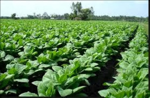 Những cánh đồng thuốc lá xanh mướt.