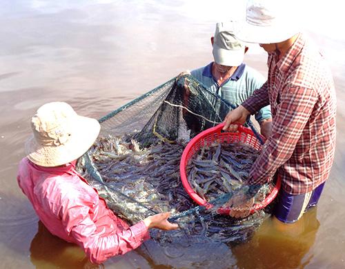 """Nuôi tôm """"sạch"""" đem lại hiệu quả cao cho gia đình ông Trần Văn Minh.  Ảnh: Q.VIỆT"""