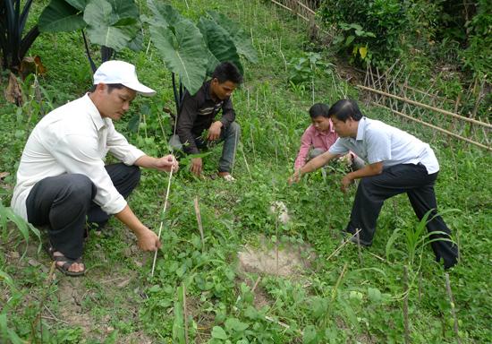 Cán bộ nông nghiệp hướng dẫn cách cắm cây cho sâm nam phát triển.