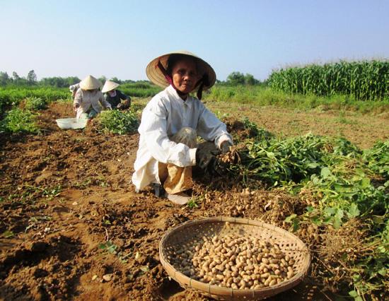 Nông dân phấn khởi vì đậu phụng trúng mùa.