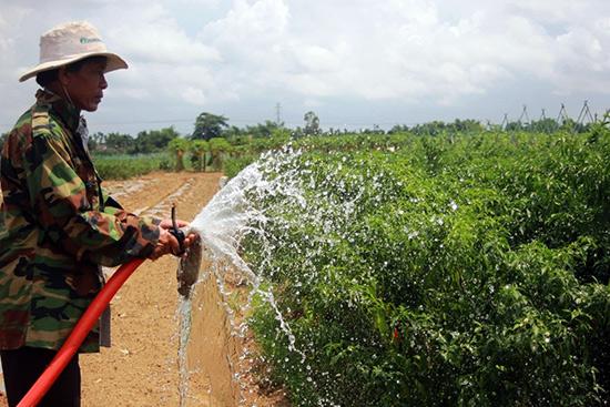 Nông dân Bàu Tròn phải tăng cường tưới nước để cây trồng chống chọi với thời tiết nắng nóng kéo dài.