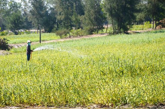 Nông dân vùng cát Bình Dương sử dụng nước ngầm tưới tiêu cho cây ruộng mè.Ảnh: T.H
