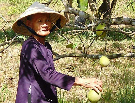 Vườn thanh trà của bà Trần Thị Mai (thôn 4) Tiên Hiệp xơ xác vì nắng nóng. Ảnh: N.HƯNG