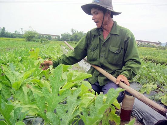 Vụ dưa xuân hè tại Phú Ninh được giá nhưng năng suất thấp.