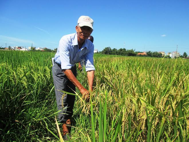 Tham quan mô hình sản xuất giống lúa thuần VN 121 tại thị trấn Nam Phước chiều 17.8.