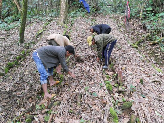 Dân làng Tắc Ngo chăm sóc vườn sâm Ngọc Linh ngủ đông.Ảnh: T.H
