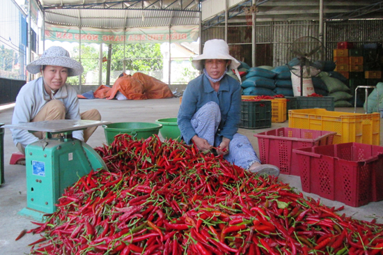 Cây ớt chưa đem lại hiệu quả và thu nhập kỳ vọng cho người dân.