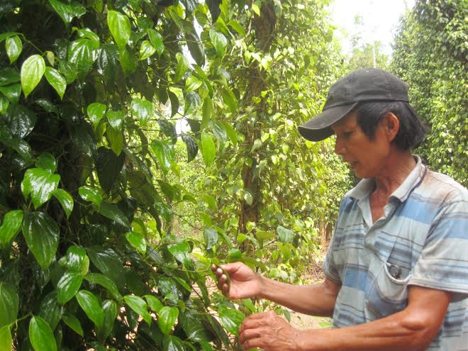 Thông qua lớp tập huấn, nông dân Tiên Phước sẽ quản lý tốt hơn dịch bệnh trên dây tiêu.