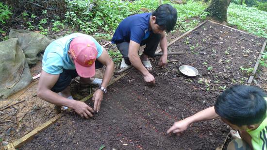 Gieo hạt sâm giống tại xã Trà Linh.        Ảnh: LÊ GÂN