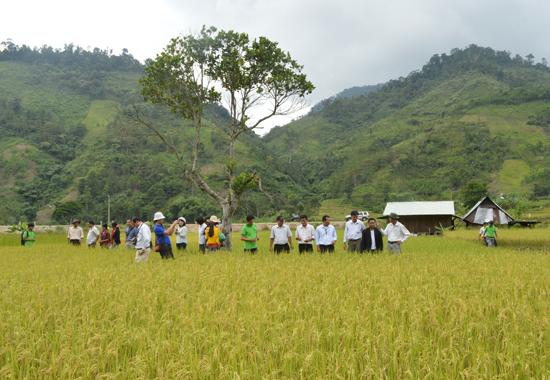 Nhiều cánh đồng tại huyện Đông Giang áp dụng kỹ thuật canh tác SRI, giúp nâng cao năng suất lúa.Ảnh: T.V.L