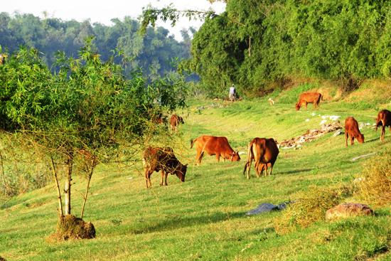 Sau những ngày mùa, những cánh đồng cỏ là nguồn thức ăn dồi dào cho đàn bò của làng Mỹ Phiếm. Ảnh: HOÀNG LIÊN