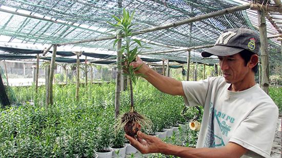 Vườn hoa ly của gia đình anh Thái Văn Trưởng, rễ vẫn phát triển bình thường nhưng thân cây còi cọc.