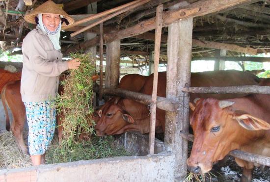 Rất nhiều hộ dân đã vươn lên làm giàu nhờ trồng cỏ nuôi bò đàn theo hướng thâm canh.
