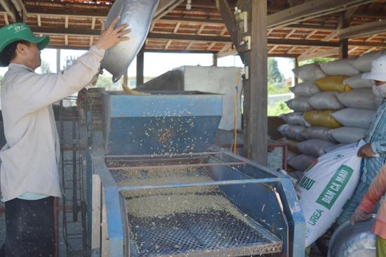 Sản xuất lúa giống tại HTX Dịch vụ sản xuất - kinh doanh tổng hợp Điện Phước I.