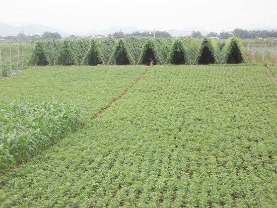 Dự án sản xuất rau, củ, quả an toàn có quy mô từ 10ha trở lên sẽ được hỗ trợ đầu tư xây dựng hạ tầng tối đa 2 tỷ đồng. Ảnh: L.Đ.T