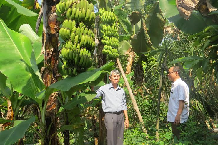 Cây chuối lùn già nuôi cấy mô trồng khảo nghiệm tại Đông Giang. Ảnh: Hoàng Liên