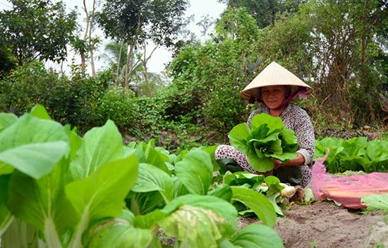 Người dân làng sản xuất rau sạch Mỹ Hưng (Bình Triều, Thăng Bình) đang gặp khó khăn trong việc tiêu thụ sản phẩm. Ảnh: H.S