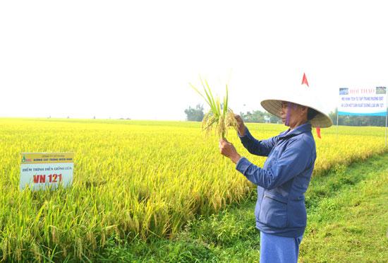 Bà Cao Thị Năm cho rằng, sản xuất lúa hiệu quả hơn so với trước khi tập trung ruộng đất. Ảnh: N.Q.V