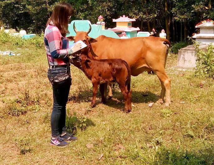 Con bê 2 tháng tuổi của bà Trần Thị Kha được lai tạo từ giống bò 3B. Ảnh: V.H