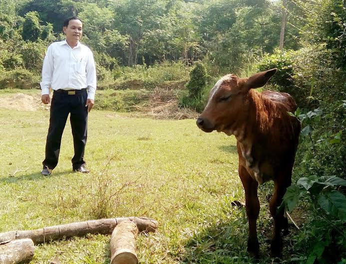 Giống bò lai 3B được kỳ vọng mở ra hướng phát triển chăn nuôi mới trên địa bàn tỉnh. Ảnh: V.H