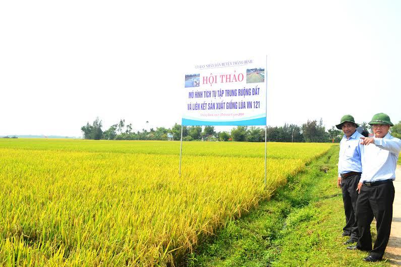 Phó Chủ tịch UBND tỉnh Lê Trí Thanh tìm hiểu thực tế về sản xuất lúa hàng hóa ở Thăng Bình. Ảnh: Q.V