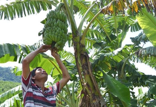 Quá trình trồng, thâm canh cây chuối ở Đông Giang sẽ được ứng dụng tiến bộ khoa học kỹ thuật. Ảnh: C.T